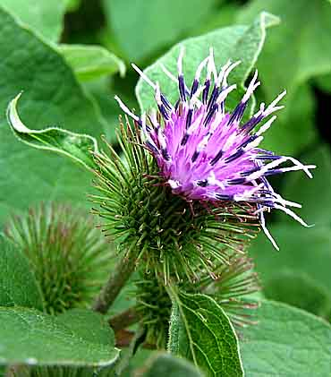 Burdock In Hindi