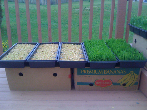 New Wheatgrass Trays