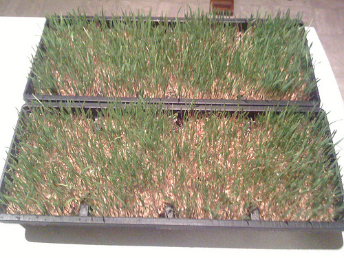 Wheatgrass Tray 1 & 2