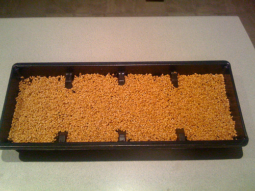 Wheatgrass Tray 5