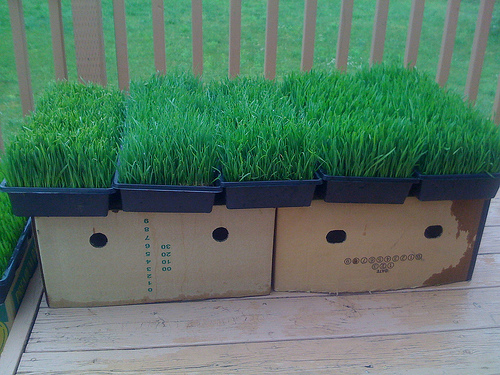 Wheatgrass Trays Nearing Harvest Time